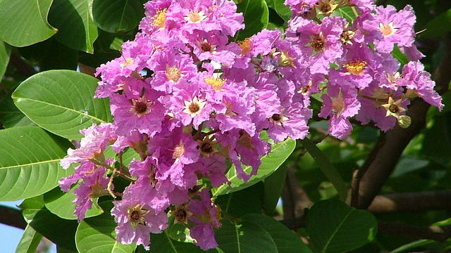 Lagerstroemia's medicinal value