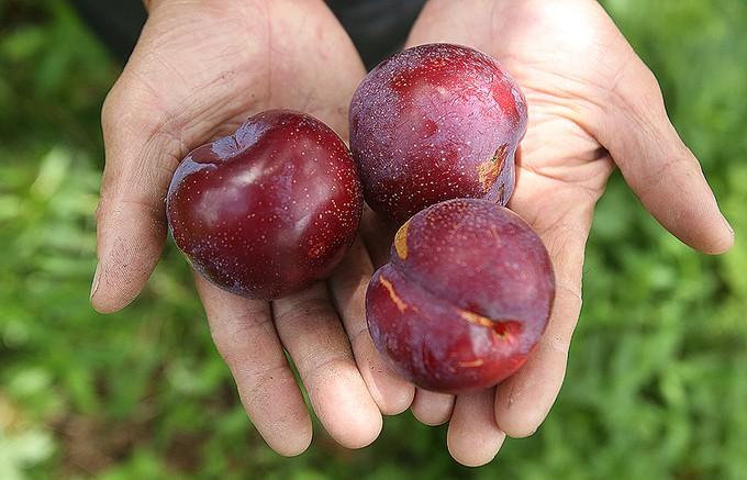 Ba loại quả mùa hè làm thuốc Đông y